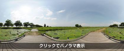 クリックで福島潟のオニバスパノラマを見る
